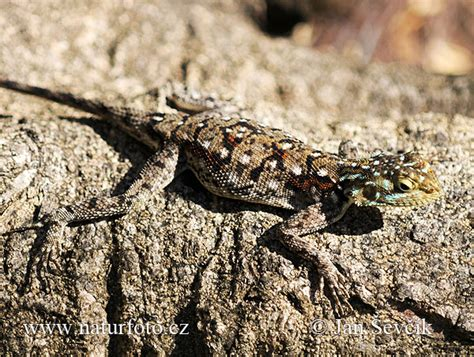 Agama lionotus Pictures, Red-headed Rock Agama Images
